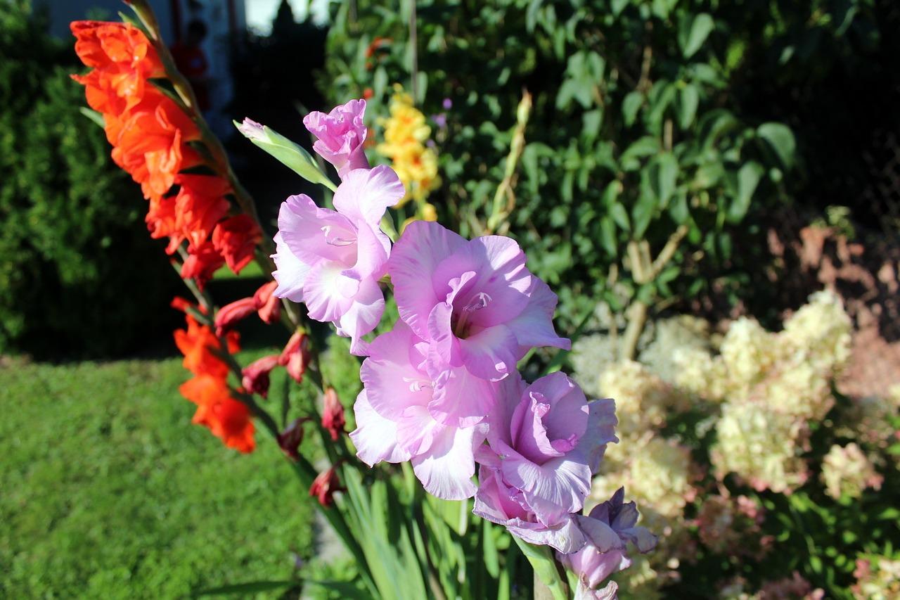 Gdzie hodować kwiaty? Kwiaty na balkonie, i do ogrodu – mieczyki.
